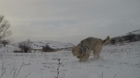 Dogs playing in winter stock video