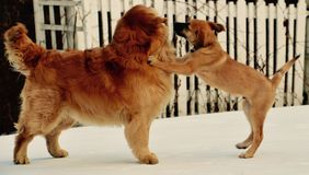 Dogs playing in the winter Stock Image
