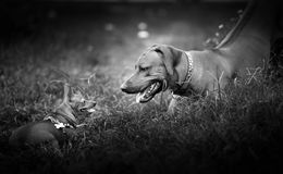 Dogs playing in the yard royalty free stock photography