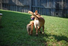 Dogs playing in yard Royalty Free Stock Image