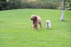 dogs poodlen som kör två fotografering för bildbyråer