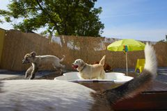 Dogs pool Stock Photography