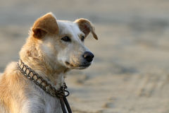 Dogs portrait. A dogs portrait taken in a beach Stock Photo