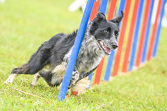 Dogs practicing the sport of Agility stock photo