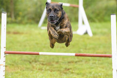 Dogs practicing the sport of Agility royalty free stock photos