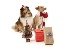 Dogs with presents Stock Photo