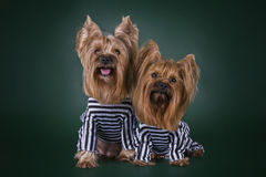 Dogs in prison for murder toys.  Royalty Free Stock Images