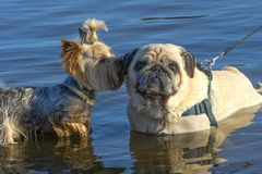 Dogs pug and york stock images
