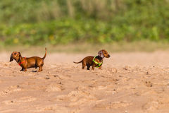 Dogs Puppies Beagles Beach Royalty Free Stock Photography