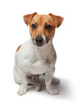 Dogs puppy  on white background. Jack Russell Terrier Stock Images