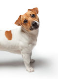 Dogs puppy  on white background. Jack Russell Terrier Stock Image