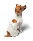Dogs puppy  on white background. Jack Russell Terrier Stock Photography
