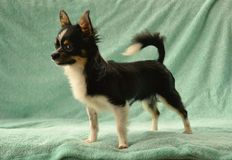 Dogs 00014. Purebred Long-Coated Chihuahua male long-coated tricolor black with tan and white markings,  tiny sized standing on blue blanket Royalty Free Stock Images