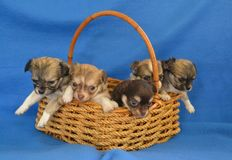 Dogs 00018. Purebred Long-Coated Chihuahua puppies, four weeks old, litter in a basket Royalty Free Stock Images