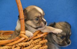 Dogs 00019. Purebred Long-Coated Chihuahua puppies, four weeks old, puppy reaching in a basket Royalty Free Stock Images