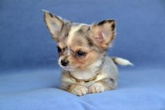 Dogs 00013. Purebred Long-Coated Chihuahua puppy with big ears,  silver blue merle colored with tan and white markings, 8 weeks old,  tiny sized laying down from Stock Photo