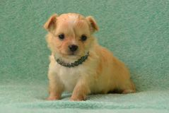 Dogs 00012. Purebred Long-Coated Chihuahua puppy,  fawn with white markings, 5 weeks old, sitting with bling collar on Stock Images