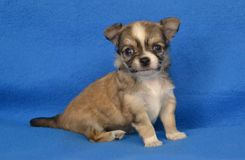 Dogs 00021. Purebred Long-Coated Chihuahua puppy, four weeks old, sable with white markings, sitting on a blue blanket Stock Photography