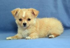 Dogs 00010. Purebred Long-Coated Chihuahua puppy,  gold fawn colored with white markings, 8 weeks old,  tiny sized laying down on blue blanket Stock Images