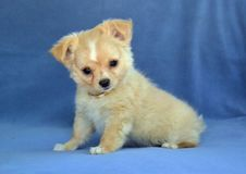 Dogs 00011. Purebred Long-Coated Chihuahua puppy,  gold fawn colored with white markings, 8 weeks old,  tiny sized sitting up on blue blanket Royalty Free Stock Photos