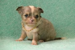Dogs 00011. Purebred Long-Coated Chihuahua puppy, merle  colored, 5 weeks old, sitting with diamond collar on Stock Photography