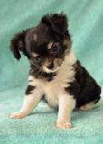 Dogs. Purebred Long-Coated Chihuahua puppy,  tricolor colored, black with white and tan markings, 8 weeks old,  tiny sized on blue fuzzy blanket Royalty Free Stock Photography