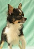 Dogs 00017. Purebred Long-Coated Chihuahua, young adult male, tricolor colored, black with white and tan markings,  tiny sized close up of head Royalty Free Stock Image