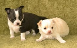 Dogs 00006. Purebred long-coated and short-coated Chihuahua puppies, black and cream with  white markings Royalty Free Stock Photography