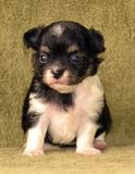 Dogs. Purebred tricolor black tan with white markings tiny long-coated chihuahua puppy 3 weeks old, sitting on a soft blanket Royalty Free Stock Photo