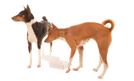 Dogs query empty box. Two pet dogs asking why box is empty Royalty Free Stock Images