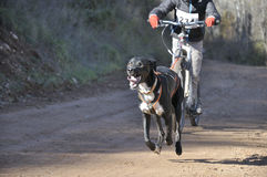 Dogs in a race (canicross) Royalty Free Stock Photo
