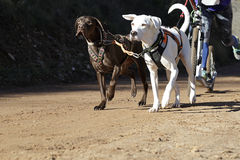 Dogs in a race (canicross) Stock Images
