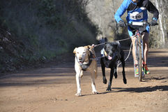 Dogs in a race (canicross) Stock Photography