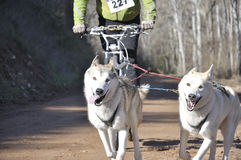 Dogs in a race (canicross) Stock Photos