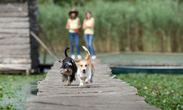 Dogs race in nature Stock Image