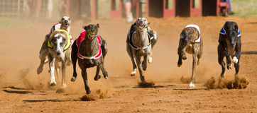 Dogs racing. Greyhound dogs racing on a racetrack Stock Photos