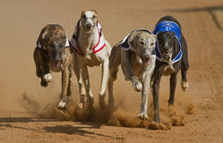 Dogs racing. Greyhound dogs racing on a racetrack Royalty Free Stock Photography