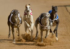Dogs racing stock photo