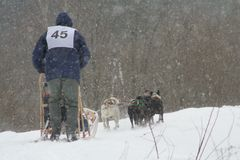 Dogs racing. Dogs race in Bieszczady Poland royalty free stock images