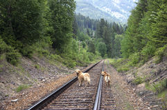 Dogs on railroad tracks Stock Images