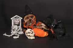 Dogs ready for halloween. Yorkshire terrier dogs wearing witch hat Stock Image