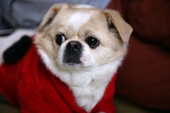 Dogs with red clothes Royalty Free Stock Photo
