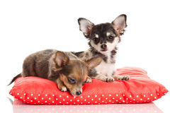Dogs on red pillow chihuahua isolated on white background Royalty Free Stock Photos