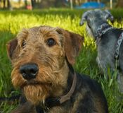 Dogs relax in grassy backyard on summer eve. Two dogs outdoors, an airedale and a miniature schnauzer, relaxing in a grassy backyard on a summer evening stock photo
