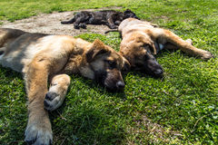 Dogs Relaxing on Grass Stock Photos