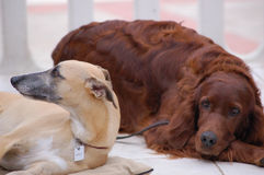 Dogs Resting. A couple of dogs resting on a hot summer day Stock Images