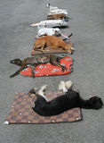 Dogs resting. Group of dogs taking nap stock photo