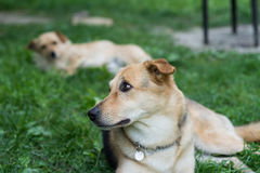 Dogs resting Stock Image