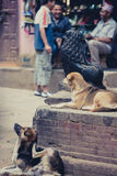 Dogs resting in the streets of Bhaktapur Stock Images