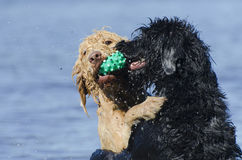 Dogs Retreiving the Same Ball in the Water. Two labradoodles playing in the lake with the blonde dog retrieving the ball and the black dog bugging her sister Royalty Free Stock Photos